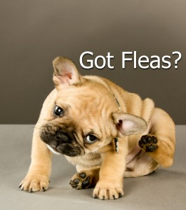Puppy with fleas